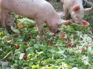 cochon-mange-salade1